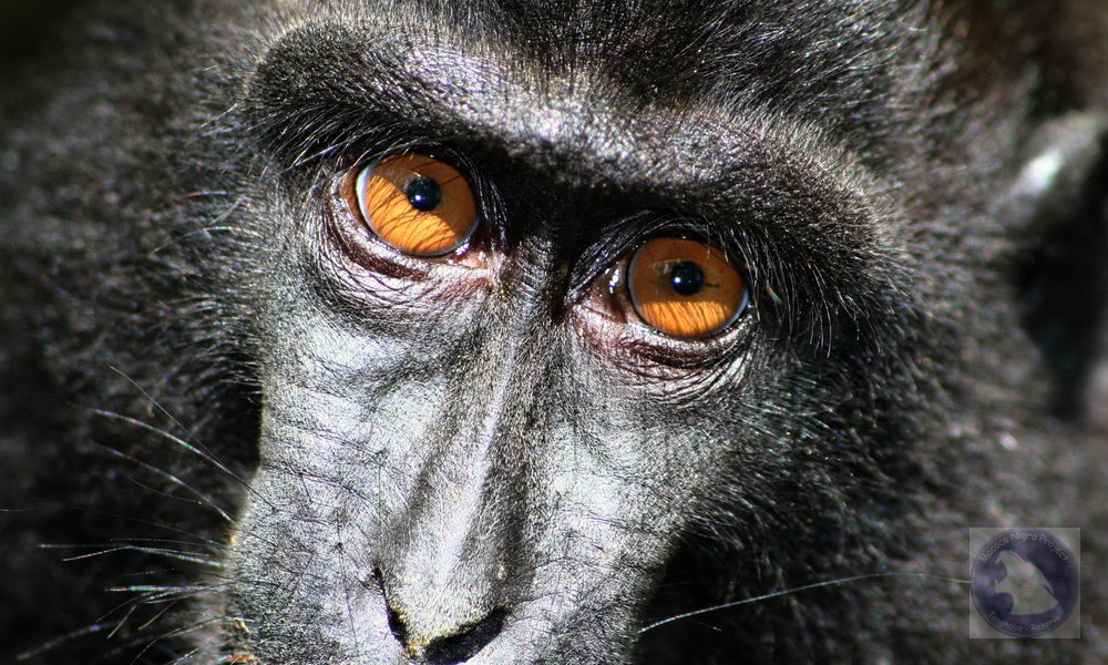 Crested macaque - detail