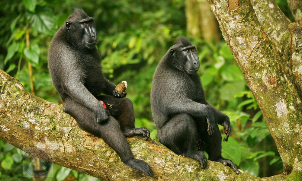 Crested macaques - males on a branch